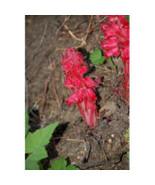 20 seeds Sarcodes sanguinea Snow Plant Seeds - $23.88