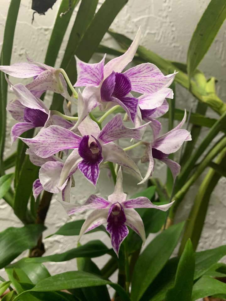 Dendrobium Fire WIngsI Orchid Plant Blooming Size! LONG Lasting Flowers!.....