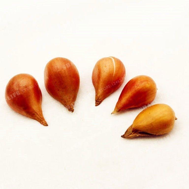 2pcs Cream Pink Lce Cream Tulips Bulbs (Not Tulip Seeds)
