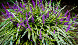 4 liriope plants - Monkey Grass - Lily Turf Heat and Drought Tolerant - $23.99