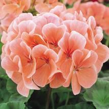 10 Peach Geranium Perennial Flowers Seeds #STL17 - $17.17