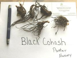 Black Cohosh wildflower 5 bulb/root  image 3