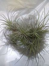 10 Tillandsia Air Plant pack Naturally Grown Florida plants Green Garden... - $33.39
