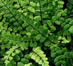 MAIDENHAIR SPLEENWORT fern 5 rhizome/root image 2
