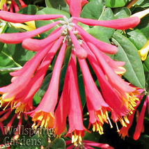 SHIP FROM US TRUMPET HONEYSUCKLE VINE Lonicera sempervirens Native Plant... - $80.00