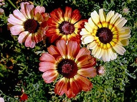 200 Seeds Painted Daisy Tri-Color Mix - $12.98