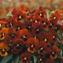 50 Viola (Arkwright Ruby) Seeds - $5.94