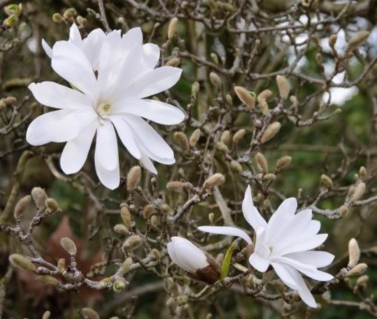 Star Magnolia shrub Magnolia stellata