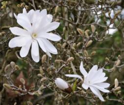 Star Magnolia shrub Magnolia stellata image 1
