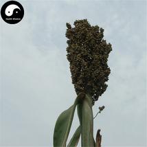 Buy White Sorghum Seeds 400pcs Plant Chinese Grain Sorghum Gao Liang - $9.99