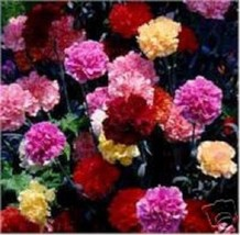 SHIP FROM US 50 Seeds Multi-Color Mix Carnation,DIY SB Flower Seeds - £23.08 GBP