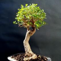 Rhus crenata Bonsai- 20 year old plant- unusual plant - $235.20