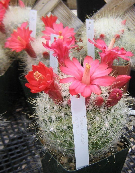 Mammillaria senilis Large Bright Red Flowers Cactus 3