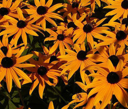 DAISY GLORIOSA SUNSET Rudbeckia Hirta - 1,000 Seeds - $8.22