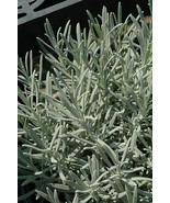 Lavender Province 10 starter plants free shipping - $42.00