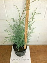 Carolina Sapphire Cypress tree gallon pot image 2