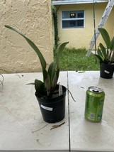 Rhyncattleanthe Blc Chonburi Red CATTLEYA Orchid Plant Pot BS 0509 O image 2