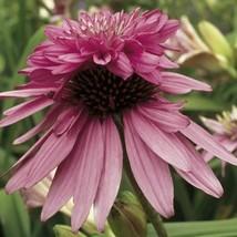 """1 Live Potted Plant echinacea DOUBLE DECKER unique double coneflower 2.5"""" pot - $33.99"""