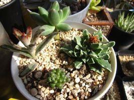 Crassula Mix 10 SEEDS * Exotic Cute Rare succulent * CombSH C42 - $2.77