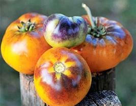 10 Seeds of Rare Purple Smudge (Orange Flesh) Tomato - Solanum Lycopersicum - $11.74