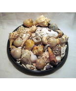 Sea Shell Collection Aquarium Crafts Decor Larg... - $19.99