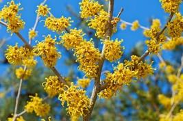 Flowering shrub Vernal witchhazel witch hazel early LIVE PLANT - $31.99