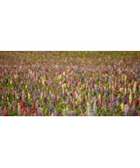 SHIPPED FROM US 960 Rainbow Lupine Mix Seeds, ZG09 - $49.96