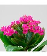 "Kalanchoe Pink Aka Kalanchoe Blossfeldiana Live Plant Fit 4"" Pot - $5.89"