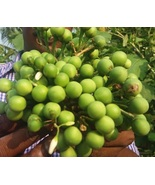 Turkey / Thai Berry Pea Eggplant | Solanum Torvum | Gully bean | 50 Seeds - $9.49