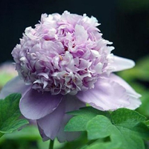 Easy planting balcony patio potted flower seed,Peony seeds CL021 - 2 pcs... - $2.99