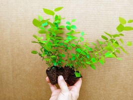 Blueberry Starter Plant ~ EMERALD... Price includes 4 plants free shipping - $29.00