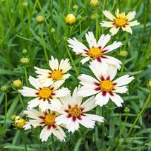 1 Healthy Plant of Coreopsis Starbright - $42.57