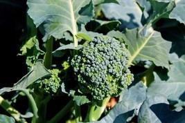 Broccoli Calabrese Non GMO Heirloom Garden Vegetable Seeds Sow No GMO® USA - $1.97+