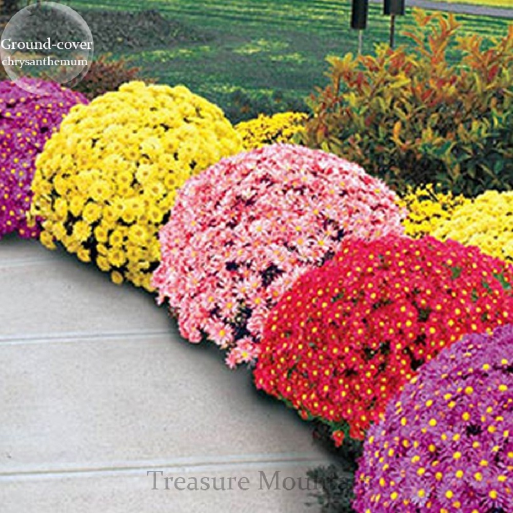 Image of 500 pcs Heirloom Rare GroundCover Chrysanthemum(Mixed Colors) Hardy Seeds