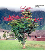Plantsscheffleraactinophylla thumbtall