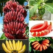 100 pz semi di banana albero nano rosso bonsai frutta decor casa... - $6.81