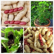 1 Original Pack 20 seeds/pack Chinese 4 pcs Peanut Seeds in one Shell w Red Skin - $13.99