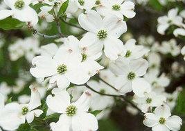White Flowering Dogwood qt pot (Cornus-florida) image 2