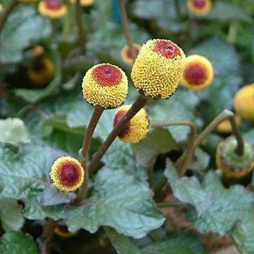 Primary image for SHIP FROM USA Toothache Plant Flower Seeds (Spilanthes Oleracea) 800+Seeds UDS