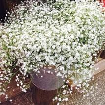 Aromatic Gypsophila Seeds Potted Gypsophila Paniculata -100 Pcs - $4.76
