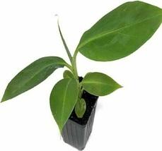 Live Plant Dwarf Orinoco Banana Tree Live Plant - Musa - Outdoor Living - $60.99
