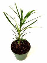"Non GMO -  4"" Pot Yellow Plum Pine Podocarpus macrophyllus Gift Rare Hardy - $14.99"