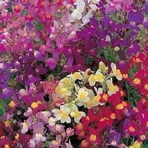 Toadflax Fairy Bouquet Mix Flower Seeds (Linaria Maroccana) 200+Seeds - $5.43+
