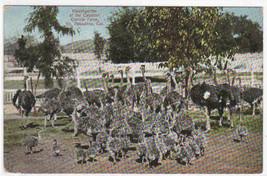 Ostrich Kindergarten Farm Pasadena California 1910c postcard - $5.94
