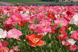 50 grams Seeds - Shirley Single Blend Poppy Seeds - Perennial HH01 - $11.99