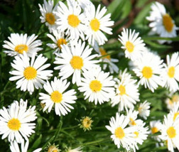 Beautiful Aster Alpine White 50 Fresh Seeds #IMA36 - $19.99