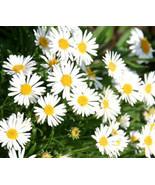 Beautiful Aster Alpine White 50 Fresh Seeds #IMA36 - $19.99