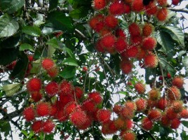 Rambutan Seed Very Delicious Giant Plant Tree Red Fruits Plant As Litchi Seed - $2.71