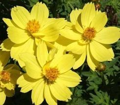 Shipped From Us, Cosmos Dwarf Lemon 30 Fresh Flower Seeds*Free Us SHIPPING-SPM - $16.99