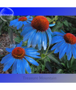 'Yangko' Light Blue Echinacea purpurea, Decorative Garden Flower Seed TM - $15.60